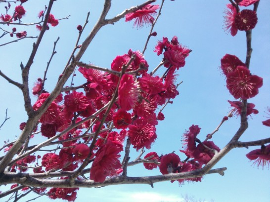 Pruniers en fleur.