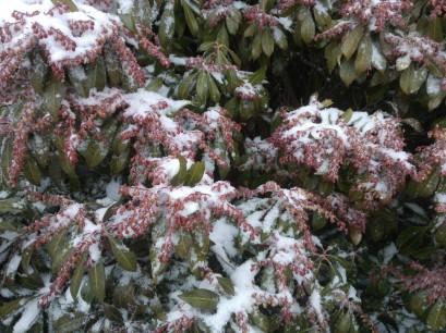 Une espèce d'arbuste : Pieris japonica ou Andromède du Japon. Très joli.