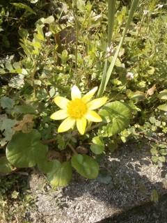 J'ignore le nom de cette belle fleur qui ressemble à un soleil.