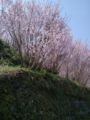 Cerisiers en fleur.