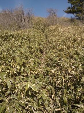 """À partir du col, je progresse entre les plants de """"bambou sasa"""" qui ont leur origine à 2700 mètres d'altitude."""