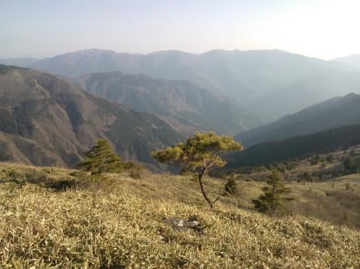 Au sommet du col d'Ochiai, ces bambous forment un pré touffu sur le versant des montagnes.