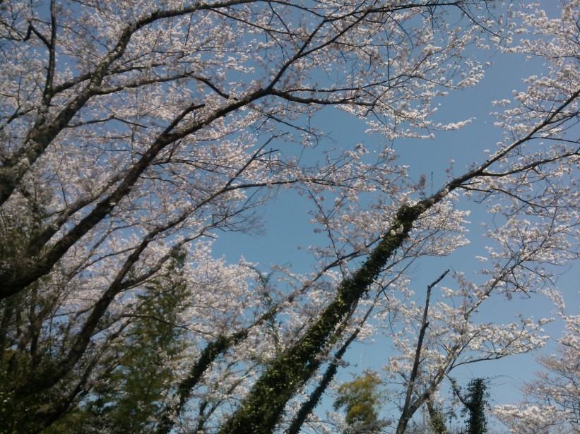 Cerisiers en fleur durant la montée.