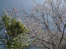 Cerisiers et spirées