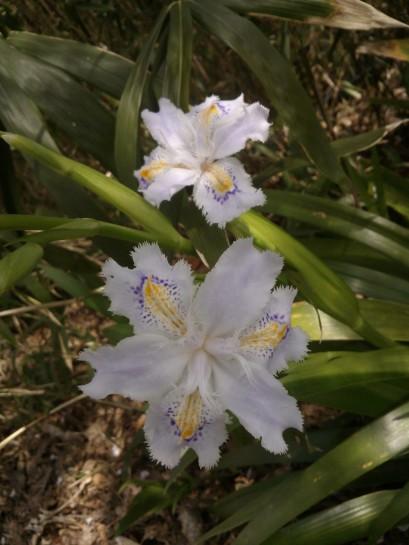 Iris du Japon. Magnifique fleur originaire des forêts de Chine, cultivée au Japon depuis des siècles.