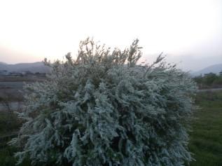Ces spirées sont des arbustes dont la floraison blanche me fait penser à du givre…