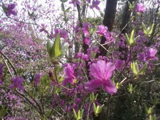 Les fleurs pourpres de l'azalée du Japon.