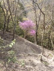 L'azalée du Japon avec sa floraison remarquable. Ici, sur les collines de Matsuoyama.