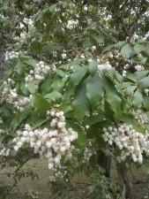 L'andromède du Japon (Pieris) est un arbuste avec des fleurs pareilles à des clochettes blanches.
