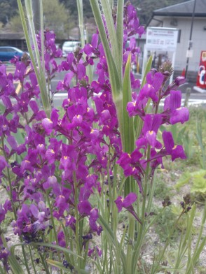 Deux pétales vers le haut et trois vers le bas : est-ce que ce sont des violettes ? Je ne sais pas vraiment, mais j'imagine que oui.