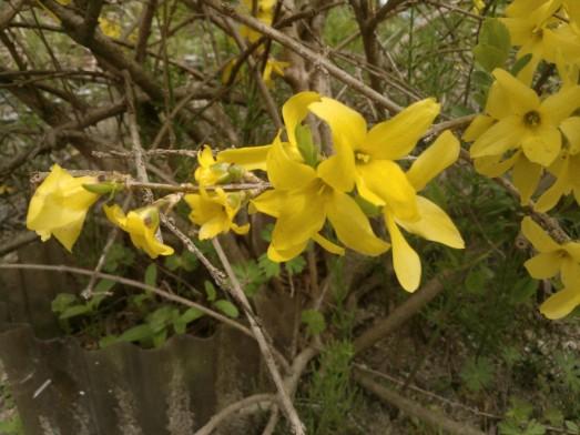 Fleurs de forsythia.