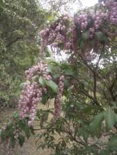 La fleur d'andromède peut aussi être teintée de rose.
