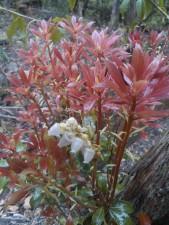 Les teintes somptueuses des feuilles cuivrées de l'andromède. Les feuilles naissent rouge vif, puis passent par des tons de couleurs différentes avant de verdir.