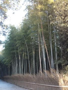 Le son du vent qui siffle à travers les bambous est unique.