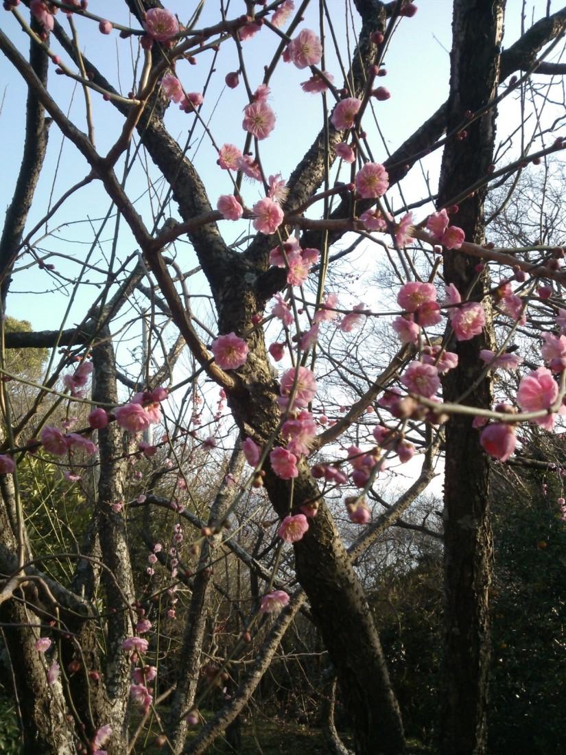 Premiers pruniers en fleur